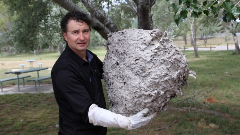 European Wasp Nest